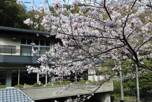 桜実況中継_c0078659_1522779.jpg