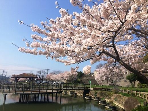 桜満開_a0330060_16524349.jpg