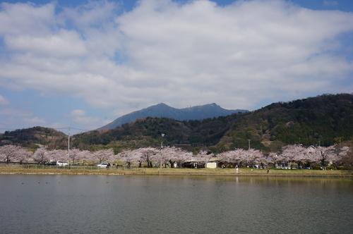 北条大池の桜、開花情報第三弾です!ほぼ満開に!_b0124462_17595722.jpg