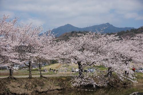 北条大池の桜、開花情報第三弾です!ほぼ満開に!_b0124462_1802272.jpg