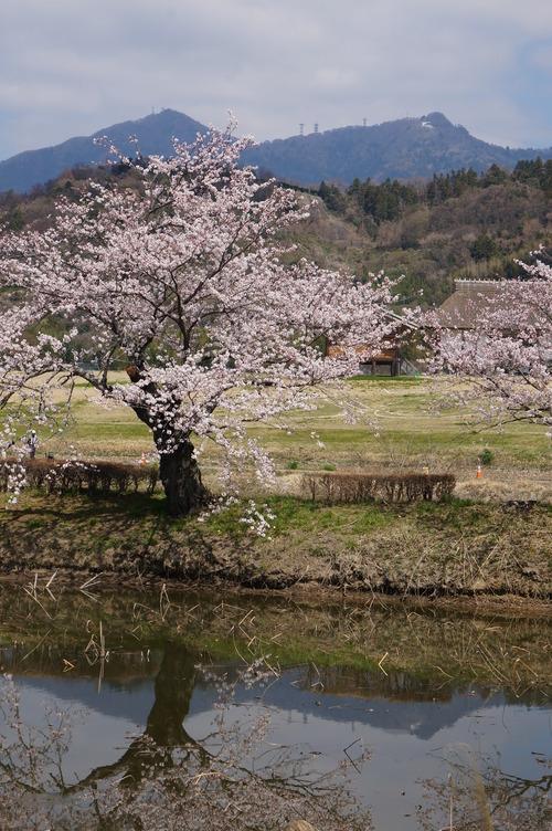 北条大池の桜、開花情報第三弾です!ほぼ満開に!_b0124462_18041100.jpg