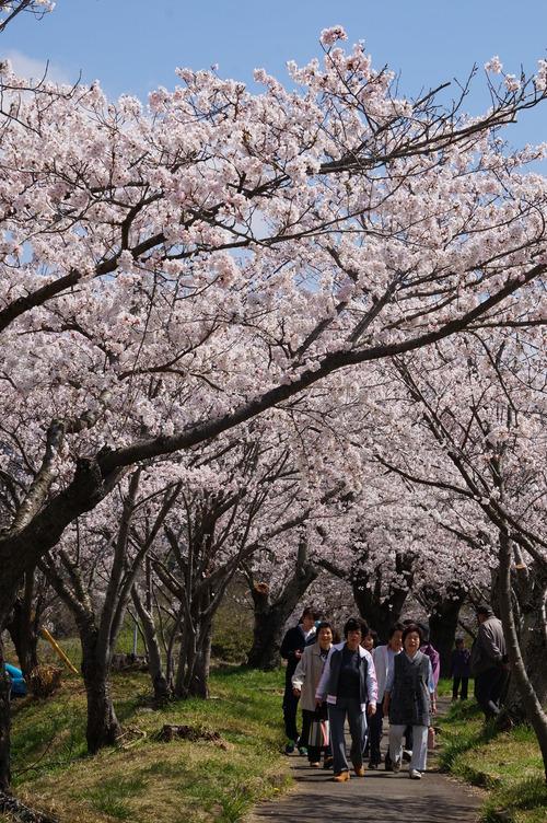 北条大池の桜、開花情報第三弾です!ほぼ満開に!_b0124462_18058100.jpg