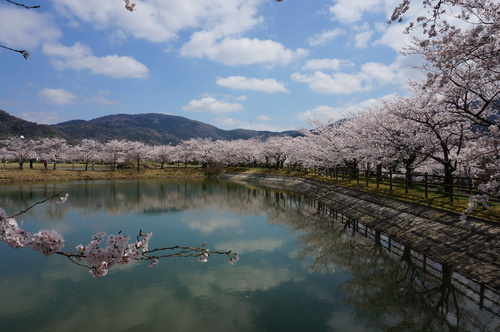 北条大池の桜、開花情報第三弾です!ほぼ満開に!_b0124462_1812448.jpg