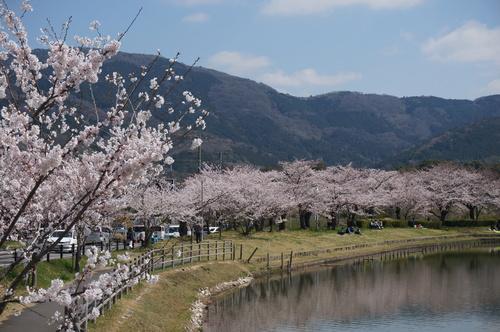 北条大池の桜、開花情報第三弾です!ほぼ満開に!_b0124462_1831657.jpg