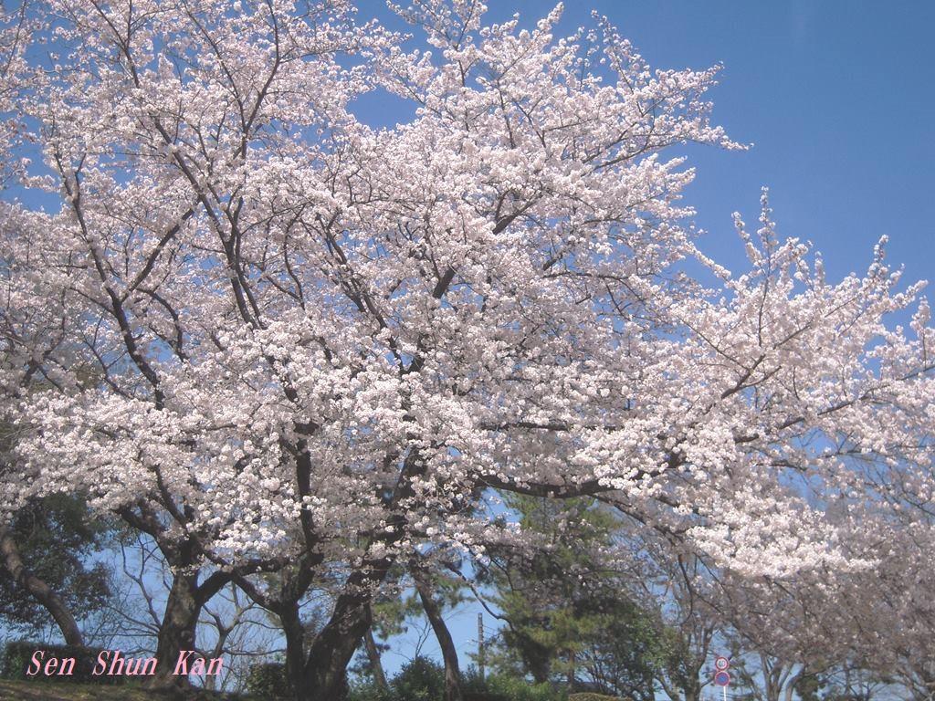 賀茂川の桜 2015年4月2日_a0164068_2224291.jpg