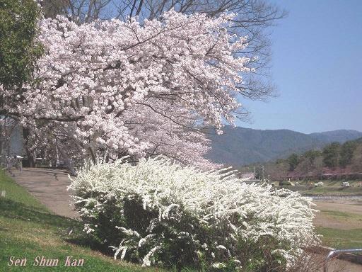 賀茂川の桜 2015年4月2日_a0164068_22245016.jpg