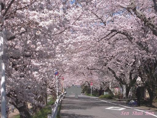 賀茂川の桜 2015年4月2日_a0164068_22251885.jpg