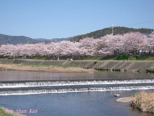 賀茂川の桜 2015年4月2日_a0164068_22255184.jpg