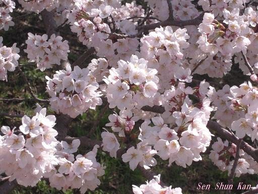 賀茂川の桜 2015年4月2日_a0164068_22264032.jpg