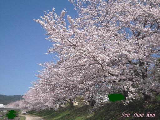 賀茂川の桜 2015年4月2日_a0164068_22272291.jpg