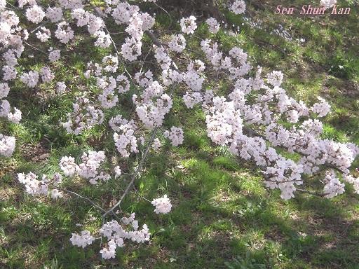 賀茂川の桜 2015年4月2日_a0164068_22274738.jpg