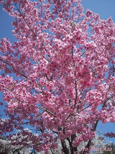 植物園の桜 2015年4月2日_a0164068_23111815.jpg