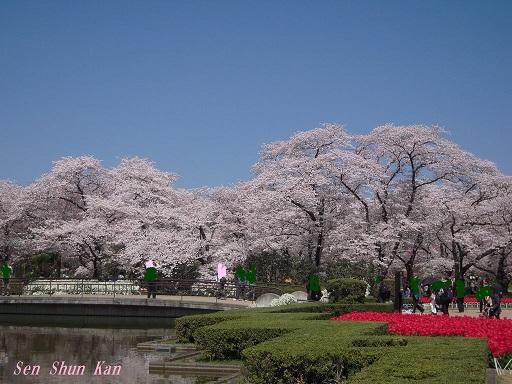 植物園の桜 2015年4月2日_a0164068_236597.jpg