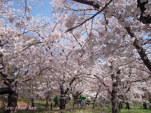 植物園の桜 2015年4月2日_a0164068_2372813.jpg
