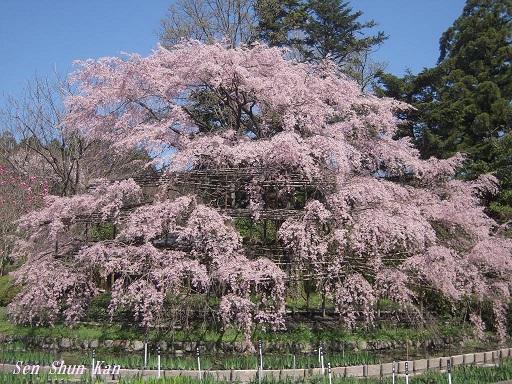 植物園の桜 2015年4月2日_a0164068_2375420.jpg