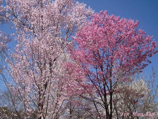 植物園の桜 2015年4月2日_a0164068_2391746.jpg