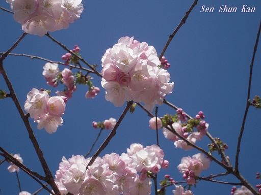植物園の桜 2015年4月2日_a0164068_2394078.jpg