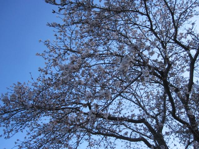 園の桜は蕾_f0085369_10133142.jpg