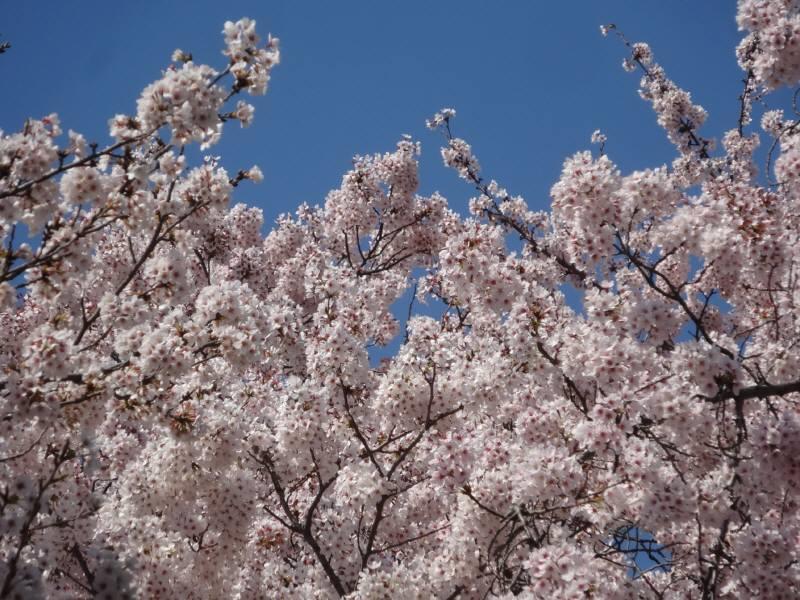 桜満開_f0059673_2225518.jpg