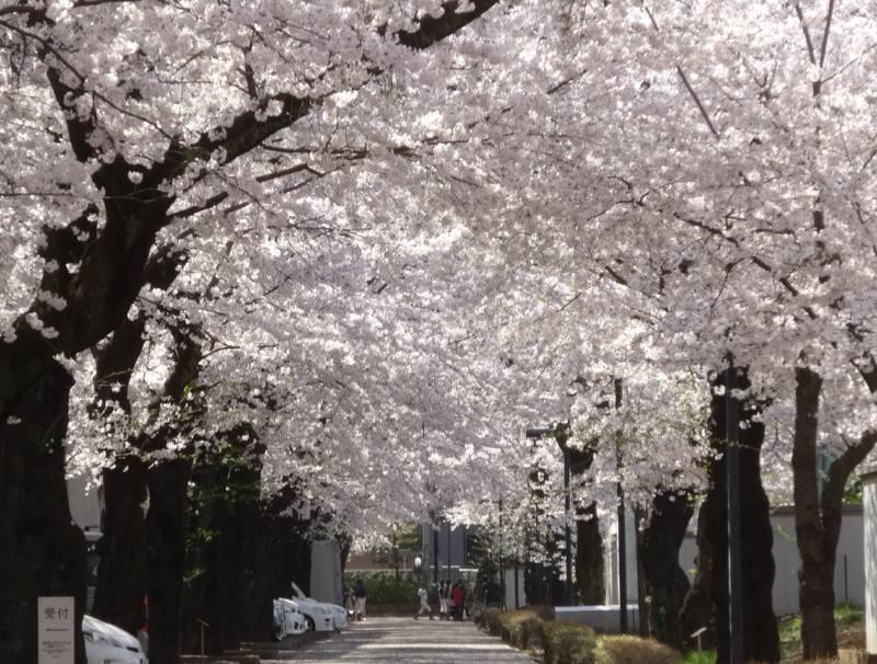 桜満開_f0059673_2226274.jpg