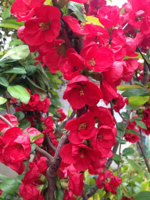 木瓜、花桃、桜…満開です_b0087077_13021180.jpg