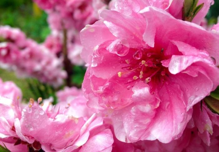 木瓜、花桃、桜…満開です_b0087077_13030707.jpg