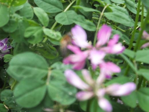 れんげ草が・・・・。_d0251679_22115132.jpg