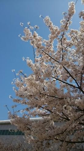 プチお花見_a0045697_21525490.jpg