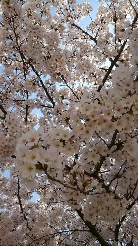 プチお花見_a0045697_21525531.jpg