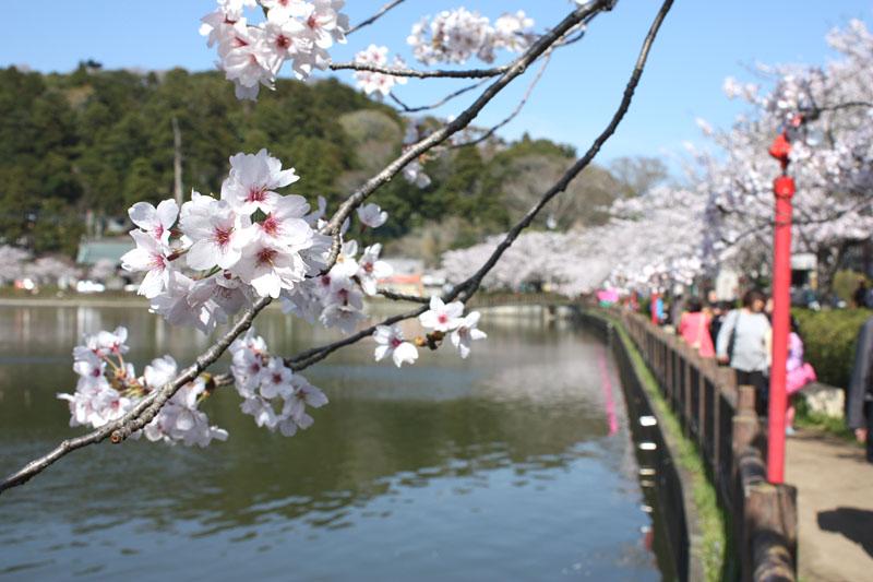 東金・八鶴湖の桜_b0114798_17165611.jpg