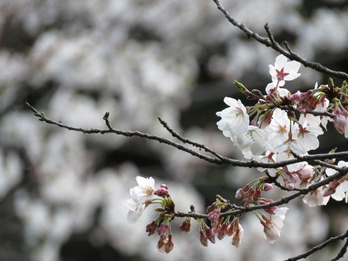 お花見さんぽ♪ (*^_^*)_c0049299_21261522.jpg