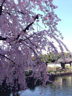 2015年の桜 見納めにならないように〜_f0101201_8534216.jpg