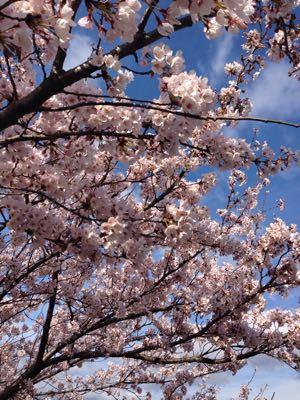 2015年の桜 見納めにならないように〜_f0101201_8534317.jpg