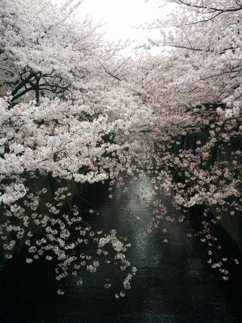桜! 桜! 桜!@目黒川_e0123104_6583391.jpg