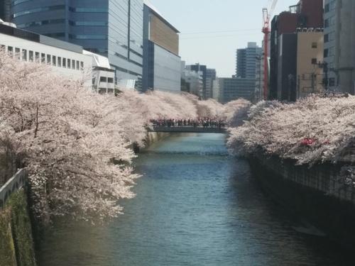 桜! 桜! 桜!@目黒川_e0123104_721391.jpg