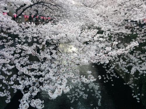 桜! 桜! 桜!@目黒川_e0123104_753460.jpg