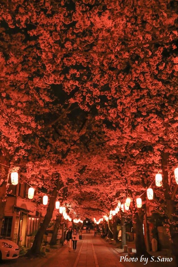 称名寺の夜桜_b0348205_23473132.jpg
