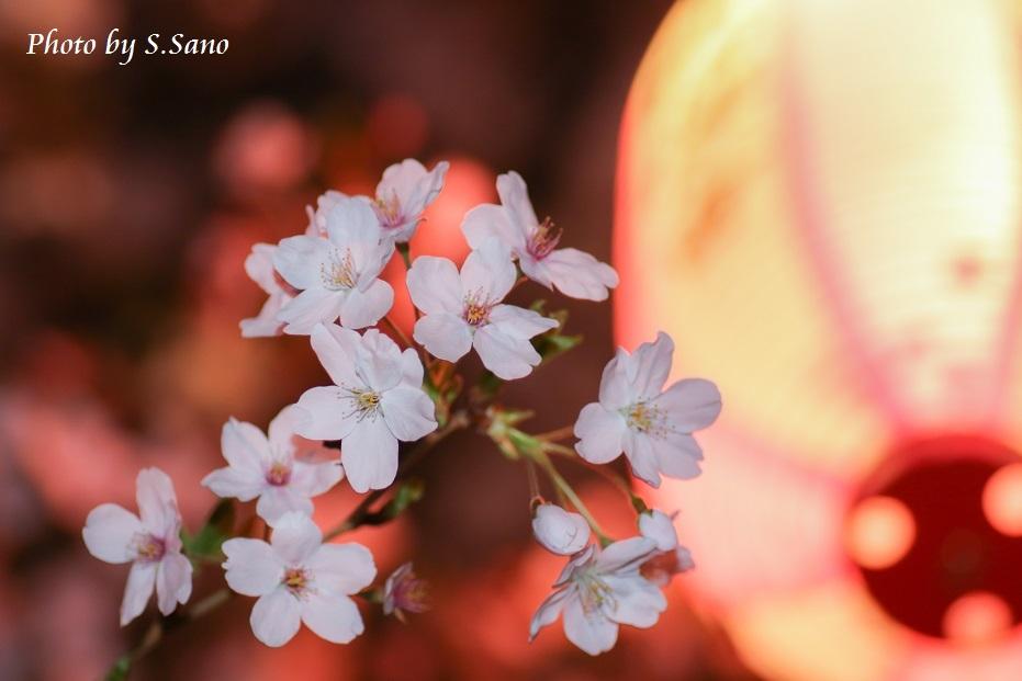 称名寺の夜桜_b0348205_23482869.jpg
