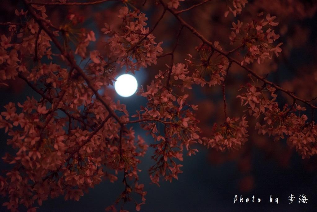 称名寺の夜桜_b0348205_23490395.jpg