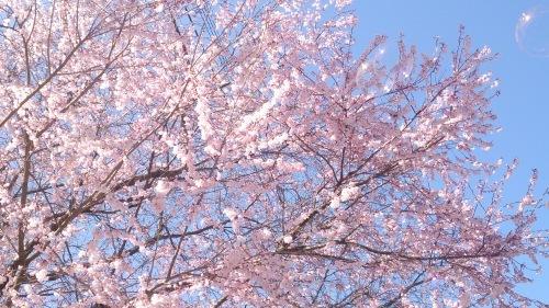 2015年4月2日の庭の桜_f0211506_10474608.jpg