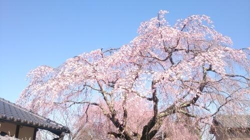 2015年4月2日の庭の桜_f0211506_10482950.jpg