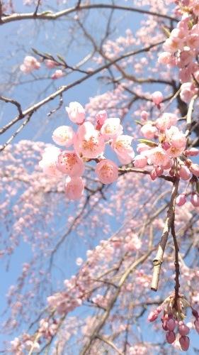 2015年4月2日の庭の桜_f0211506_10485021.jpg