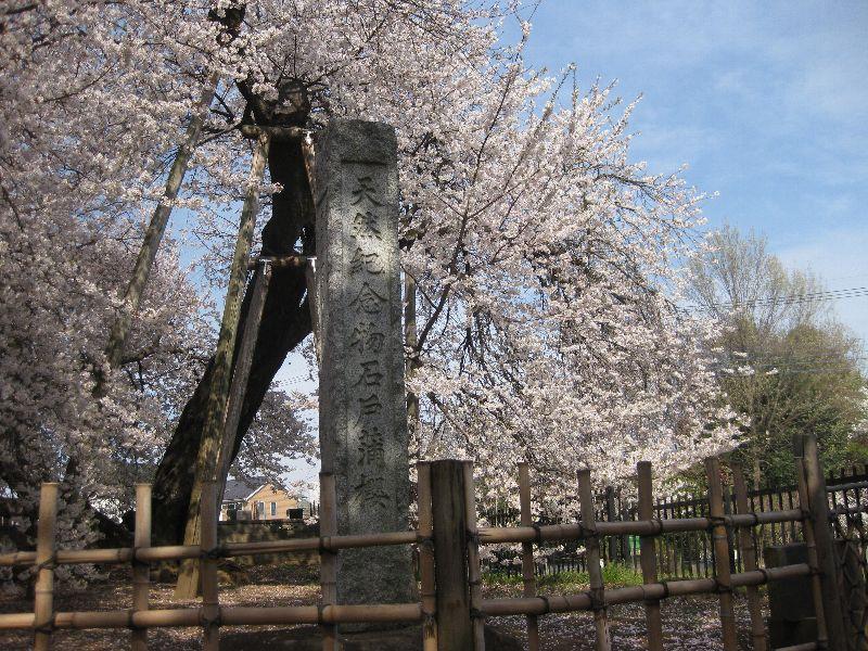 石戸蒲桜とエコストーブで芋煮_a0138609_2036832.jpg
