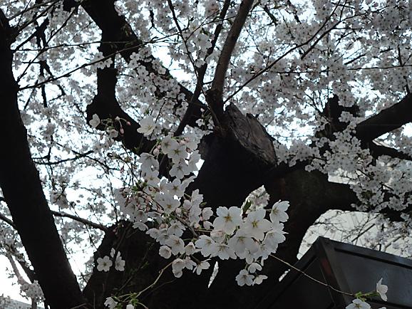 桜ボンジュール_e0230011_17433563.jpg