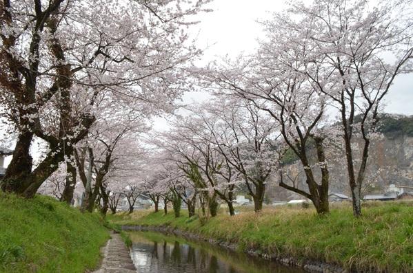 ◆ 桜が満開になって来ました。_e0021820_15333341.jpg