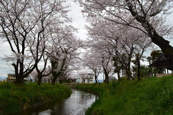 ◆ 桜が満開になって来ました。_e0021820_15373299.jpg