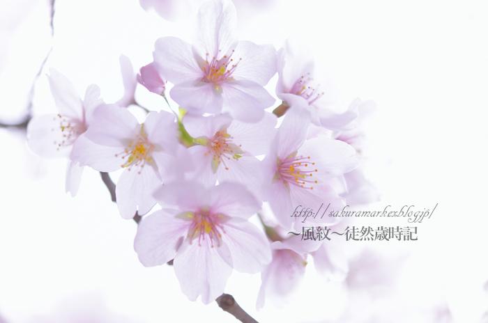 今年の桜も見納め・・・。_f0235723_21274480.jpg