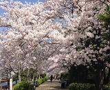 4月4日   「桜・満月・皆既月食」_b0211926_16143195.jpg