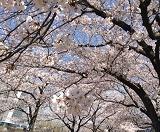 4月4日   「桜・満月・皆既月食」_b0211926_16152057.jpg