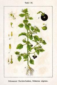 有毒な植物にご用心!(3) Giftpflanzen_d0144726_5413573.jpg